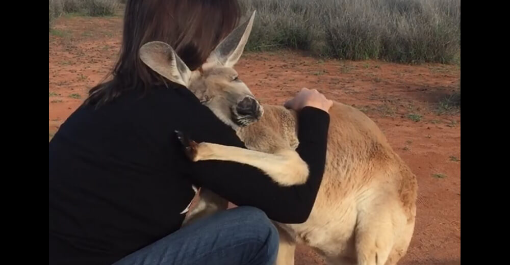 A Kangaroo who got extracted shows her gratitude every day, and it is the cutest thing in the world!