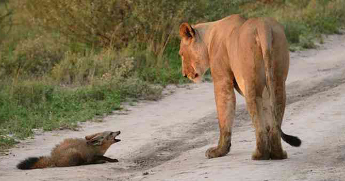 Lioness found a wounded Fox infant - and what she did brought tears to our eyes