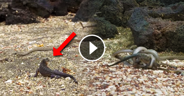 Must watch: Dramatic chase between 30 snakes and an Iguana became the best documentary footage of the year!