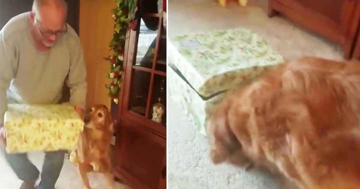 An old dog got a christmas present - look at his reaction when he sees what moves inside