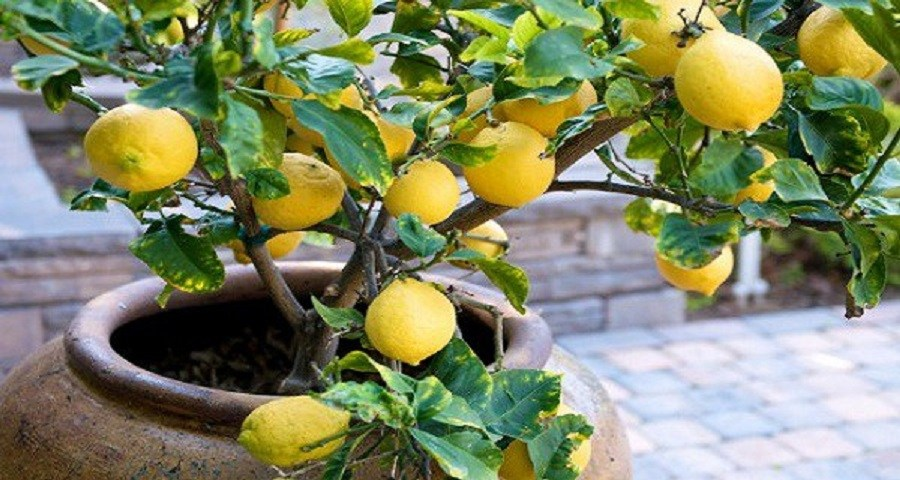 Stop buying lemons: this is how you'll grow a lemon tree at home from only one seed!