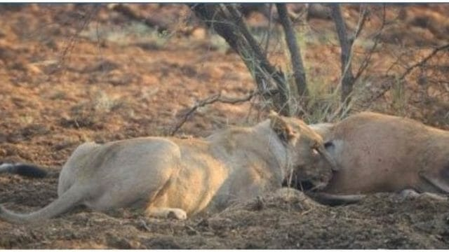 Lioness discovered that the antelope she ate was pregnant - her next move stunned the whole world