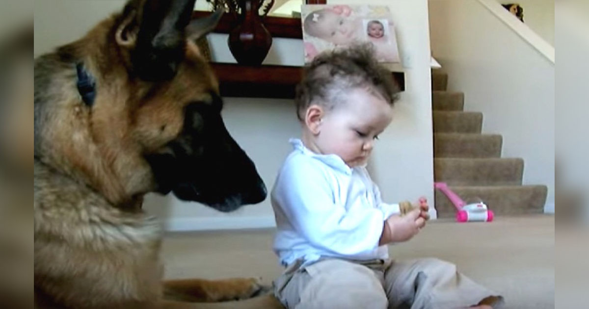 A year old baby stole the dog's snack, now watch the sweet reaction of the German shepherd