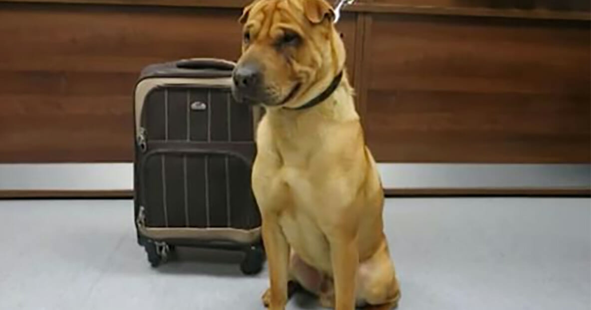 A sad dog was found abandoned in a train station tied to a suitcase with his favorite toys