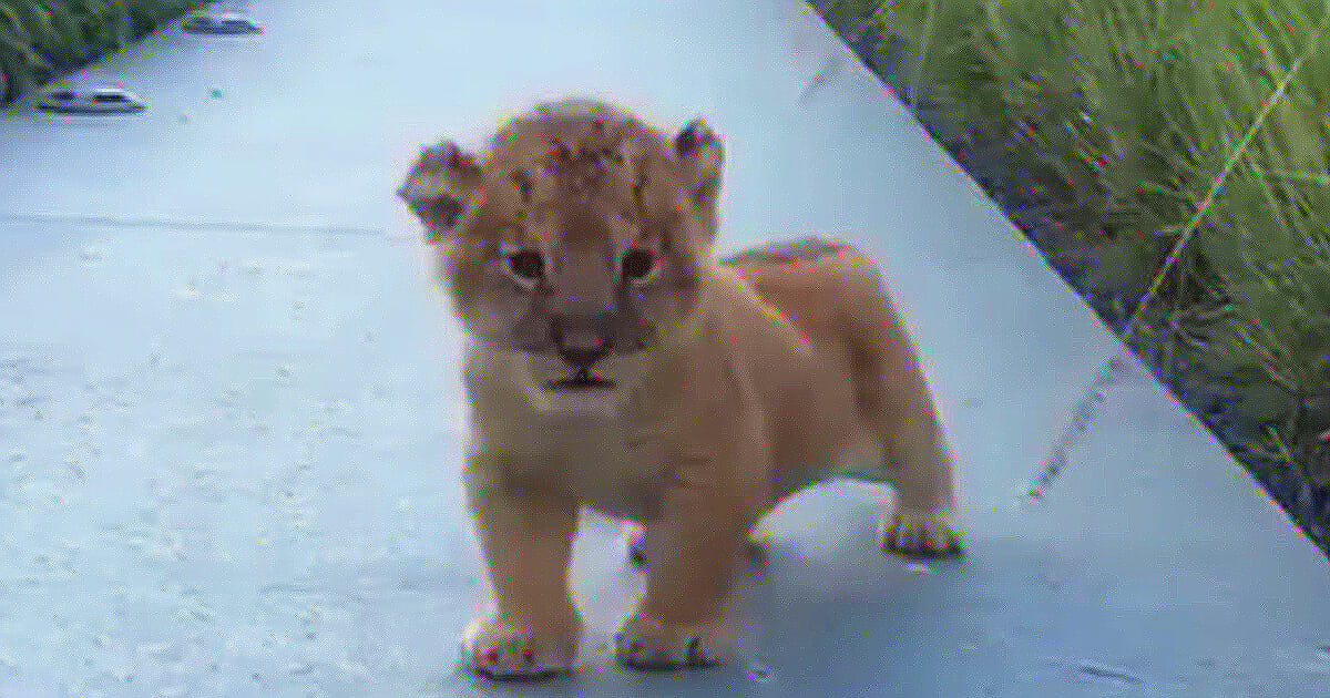 Little lion cub came out of the bushes; Now try not to smile when you hear the sound he makes