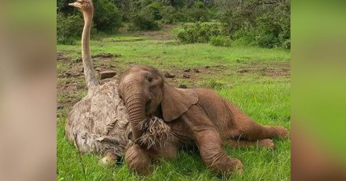 Orphan elephant cub and ostrich are best friends after having to overcome a particularly difficult past