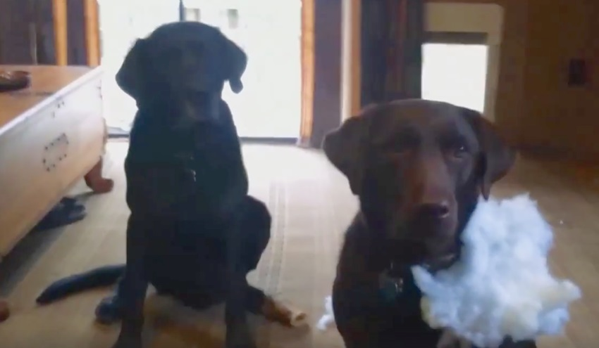 Dad asked the dogs which of them made the mess at home. Now look at how the dog informs about his sister