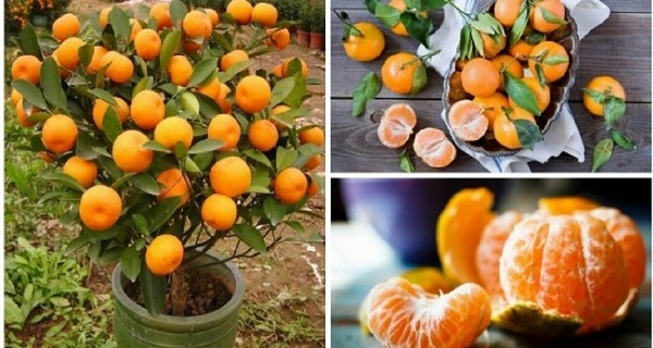 You will never buy tangerines again! Plant them in a pot and you will have hundreds!