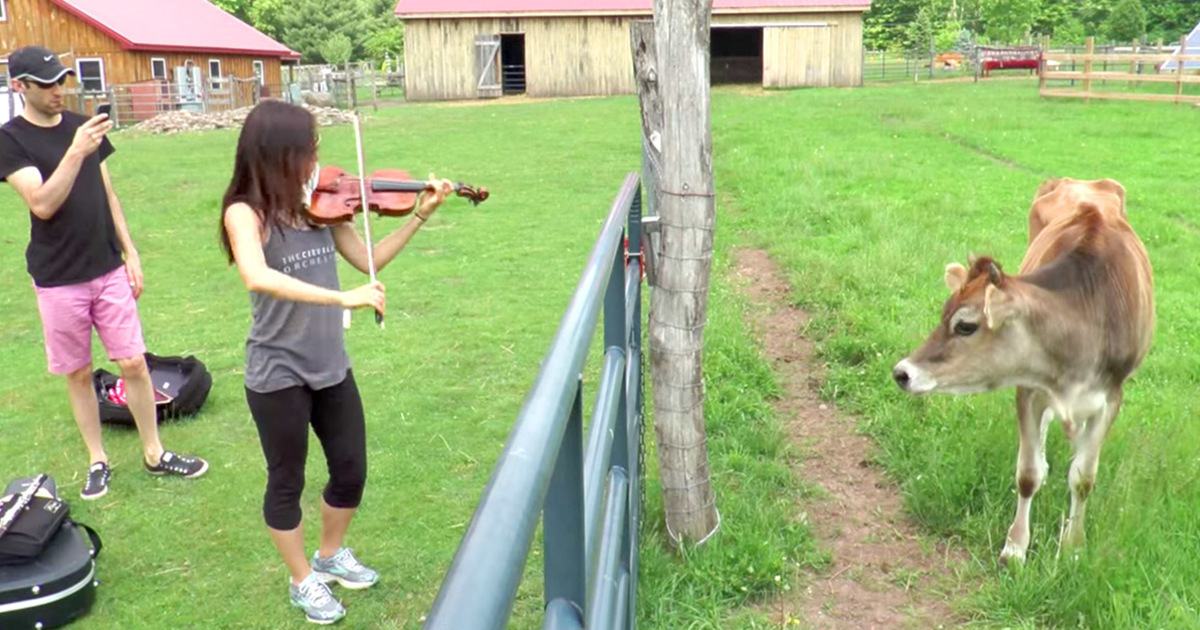 A rescued cow never heard music before, now look what she does as she hears violin for the first time in her life